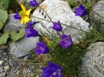 Alpine Harebell  Campanula Rotundiflora