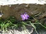 Riund Headed Rampion - Phyteuma orbiculara