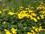 Alpine Birdsfoot Tefoil - Lotus Alpinus