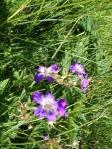 Alpine Wood Cranesbill geranium sylvaticum