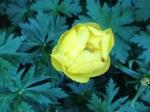 Globe flower - Trollius europaeus